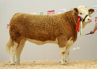 Simmental Champion 'Raceview Winty Matilda ET'