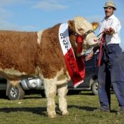 Ploughing Bull Champion 'Clonagh World Class'