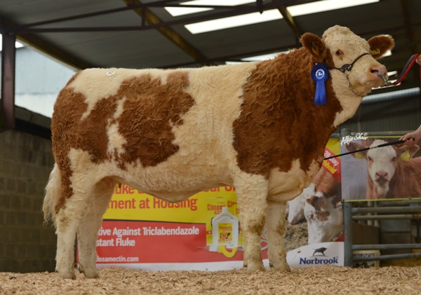 Reserve Senior Heifer 'Shiloh Dazzling Royal' €4700