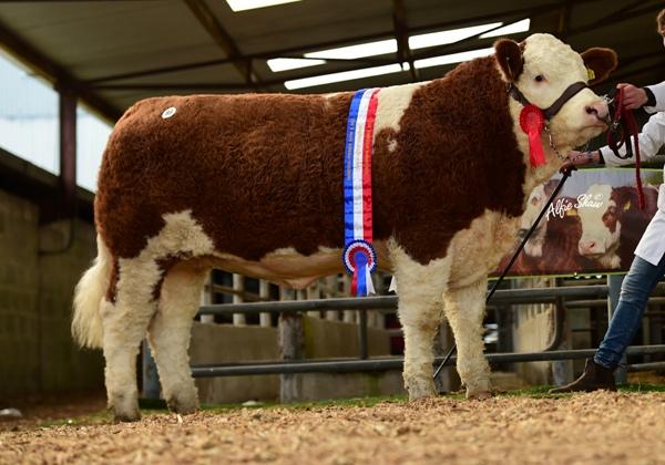 Junior Heifer Champion 'Coose Holly' €5700