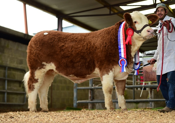 Yearling Heifer Champion 'Clonagh Honey Eyes' €12100