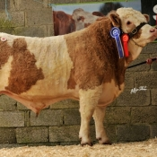 Lot 41 Reserve Male Champion 'Jennalyn Cavilier Rose' €4000