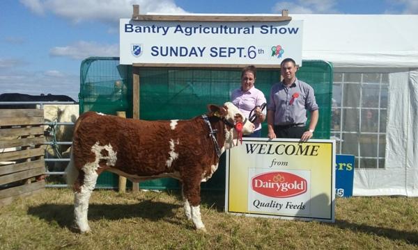 Bantry Show Southern Simmental Club Junior Heifer Calf Champion 'Brideland Geisha'