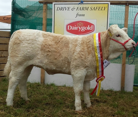 Bantry & Southern Simmental Calf Final Junior Heifer Calf Champion 'Carbery Halleberry'