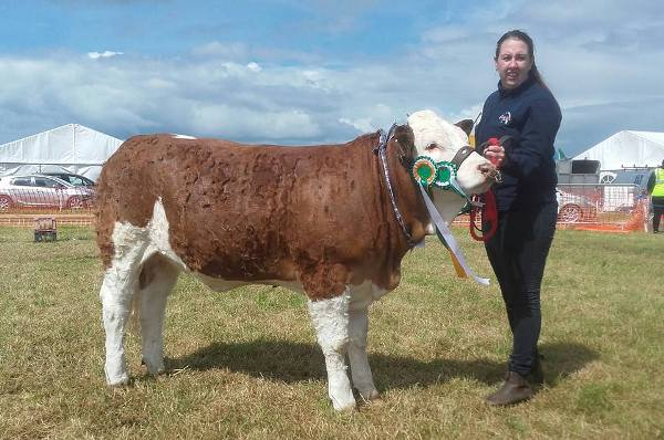 Overall Reserve Interbreed Calf Champion & 1st Simmental September Calf Class 'Seaview Harriet'