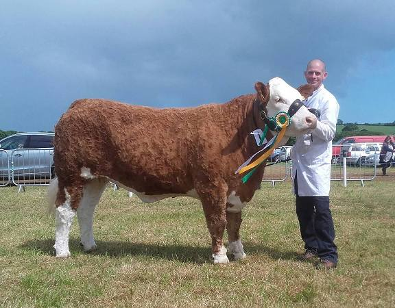 Overall Reserve Interbreed Champion & 1st Simmental Cow / Heifer Class 'Corbally Goddess Vintage'