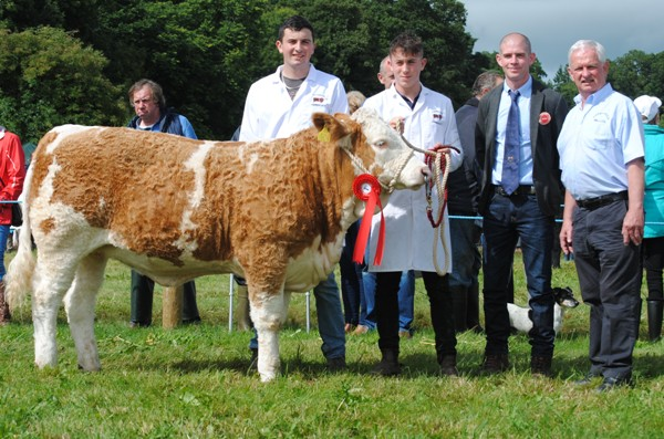 Virginia 2017 NE Simmental Club December Heifer Calf Champion 'Thornfort Hayley'