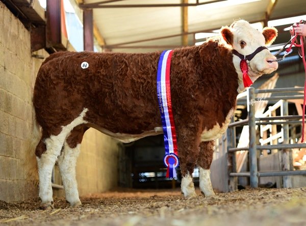 Ros1116 Senior Heifer Champion 'Rathlee Fi Fi' €3000