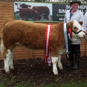 Barryroe Show Overall Breed Interbreed Calf Sth Club Yearling Heifer Champ 'Raceview Gypsy Verona'
