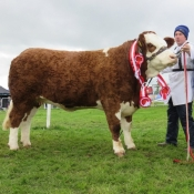 Cappamore Show Overall Simmental Champion 'Fearna Faith'
