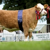 Highland Show Overall Simmental 'Auroch Eve'