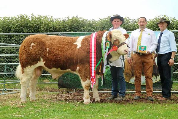 Barryroe 2017 Interbreed Beef Male Champion, Interbreed Beef Calf Champion, Overall Simmental Champion & Southern Simmental Club Yearling Bull Calf Champion 'Raceview Hermon'