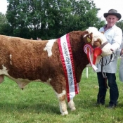 Dunmanway 2017 Munster Interbreed Beef Bull Champion, Overall Simmental Champion & 1st August '16 Bull Calf Class 'Raceview Herman'