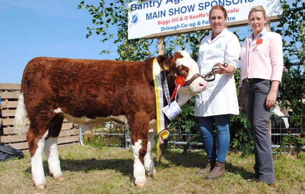 Bantry Southern Club Junior Bull Calf Champion 'Brideland Franklyn'