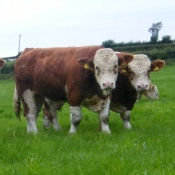 Teagasc Openday on the farm of Joe Brady 'Drumnagar Simmentals' 1.