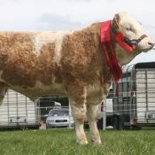 Portasol Weanling Bull Champion 'Clonagh Dancing T'
