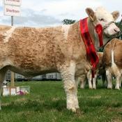Portasol Weanling Heifer Champion 'Clonagh Dixie Princess Joan'
