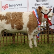 clonguish_wren_national_junior_heifer_champion