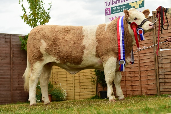 Tullamore Show 2017 National Simmental Junior Heifer 'Clonagh Gucci Eyes ET'