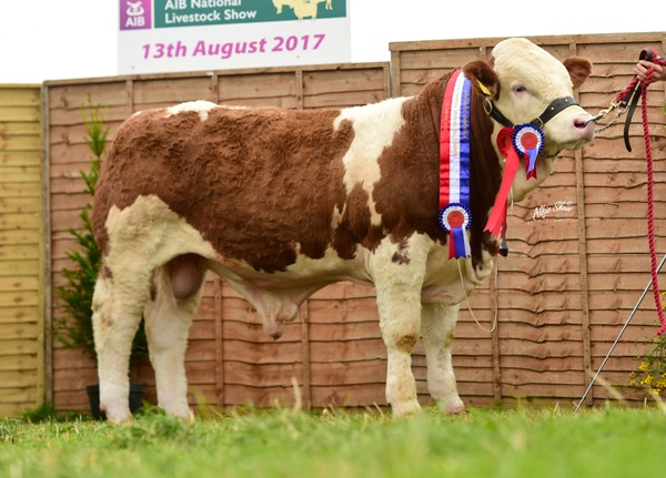 Tullamore Show 2017 National Simmental Weanling Bull 'Clonagh Hawk Eye ET'