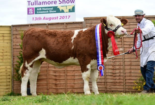 Tullamore Show 2017 National Simmental Weanling Heifer Calf 'Clonagh Hazel Eyes ET'