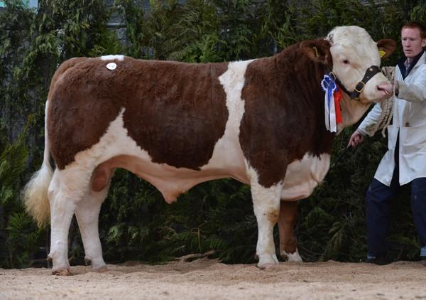 Reserve Champion Clonguish Danno €3500