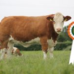 Results Class 7 – Junior Heifer