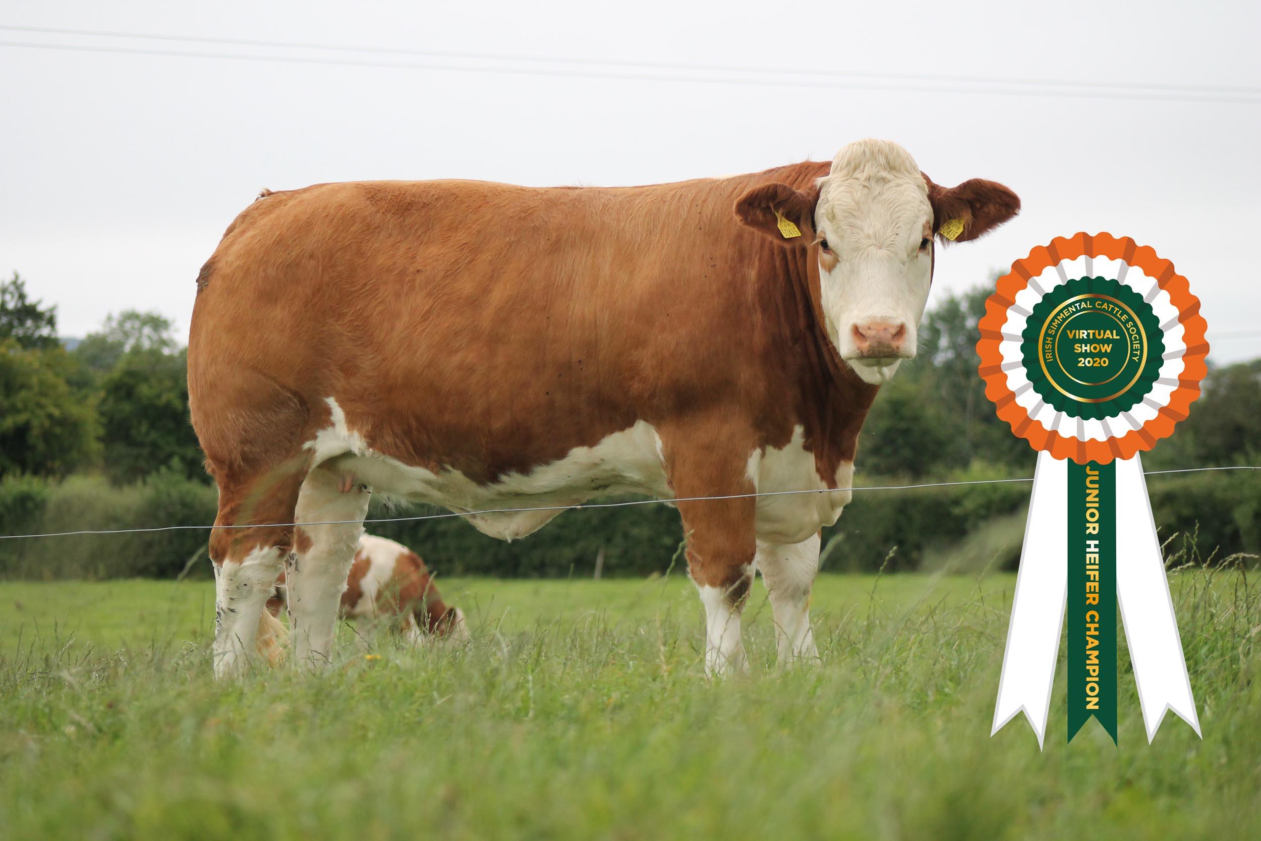Results Class 7 – Junior Heifer