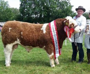 Dunmanway-2017-Munster-Inter-Beef-Bull-Overall-Sim-Champ-1st-Aug16-Bull-Calf-Class-Raceview-Herman.jpg