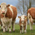 Ballymote 2020 X Heifer Sale