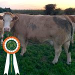 Results Class 18 – Simmental X Cow