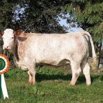 Results Class 19 – Simmental X In-Calf Heifer