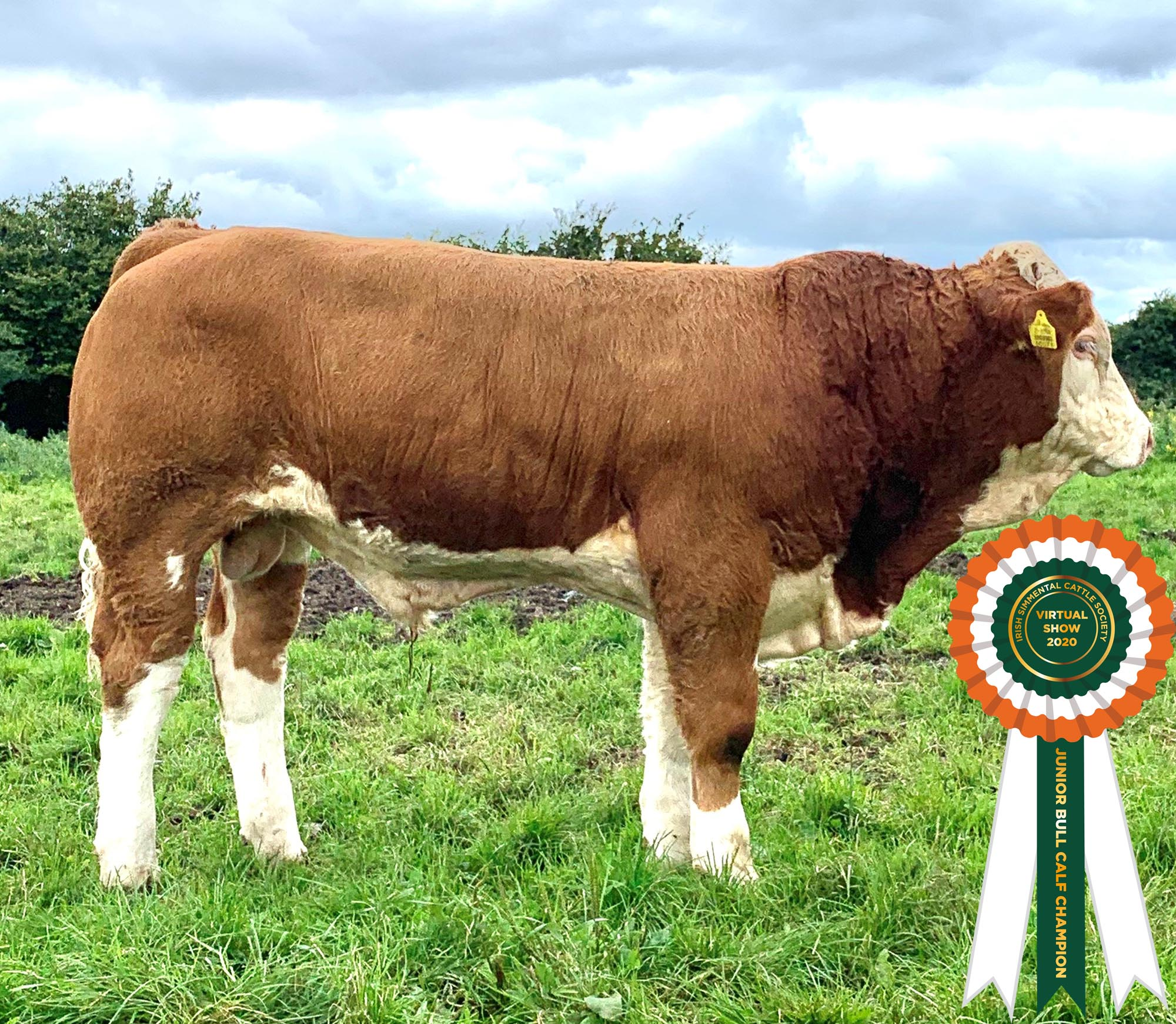 Results Class 16 – Junior Bull Calf