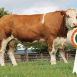 Results Class 3 – Junior Cow