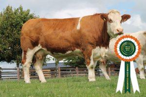 Champion Junior Cow