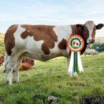 Results Intermediate Heifer Class 6