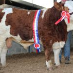 Simmental Bulls For Sale – Latest April  Web Catalogue, Pictures & Contact Details