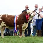 Agri-Care Nutrition Simmental Ploughing Bull 2018