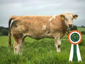 Simmental X heifer calf champion pic
