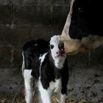 Simmental Delivers on Tullamore Farm