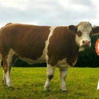 Intermediate Heifer Champion- 12